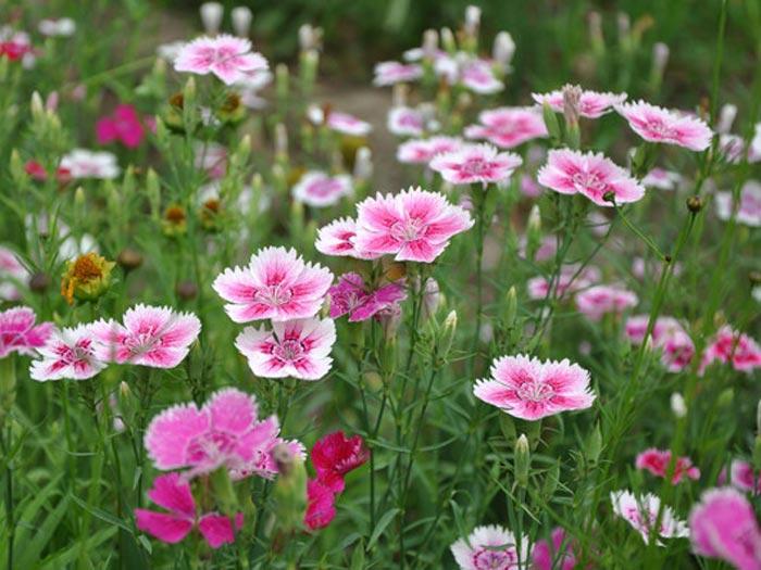 宿根花卉有哪些小知识呢