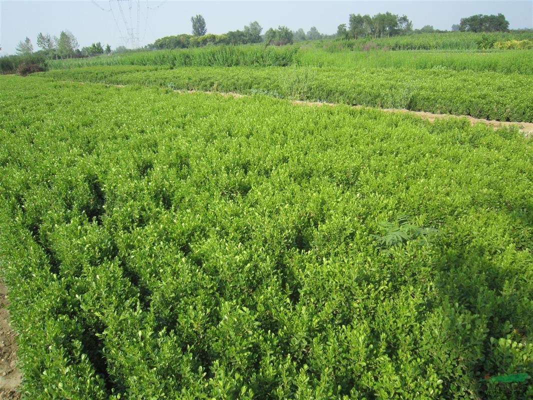 怎么来培育绿化苗木