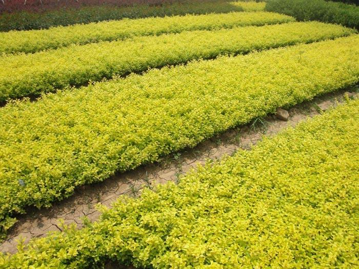 绿化苗木在不同季节的移栽技巧