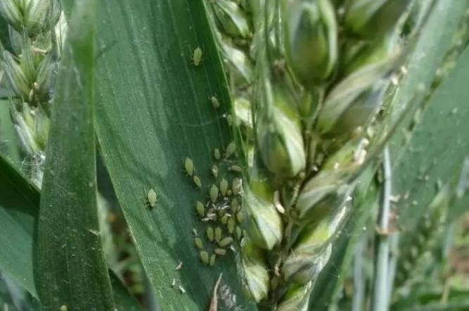 紧急!今年小麦蚜虫或严重暴发,农民朋友及时做好防治